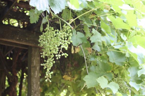 grapes-jst